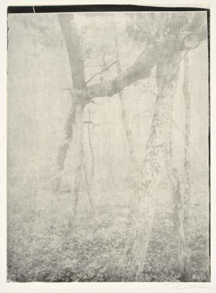 Great Oak Fallen